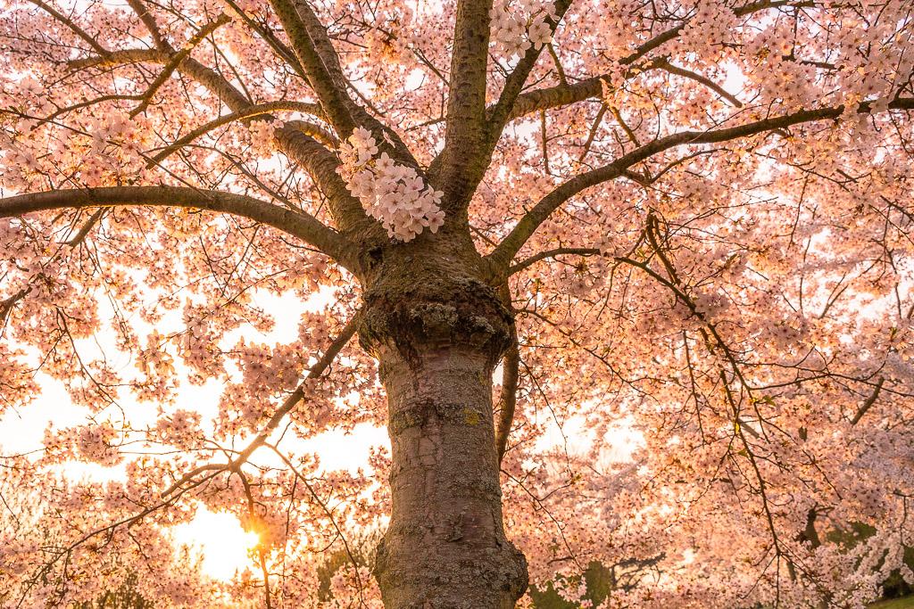 Baum mit unzähligen blühenden Kirschblüten