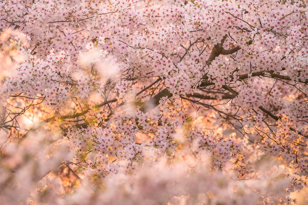 Kirschblüten, die blühen