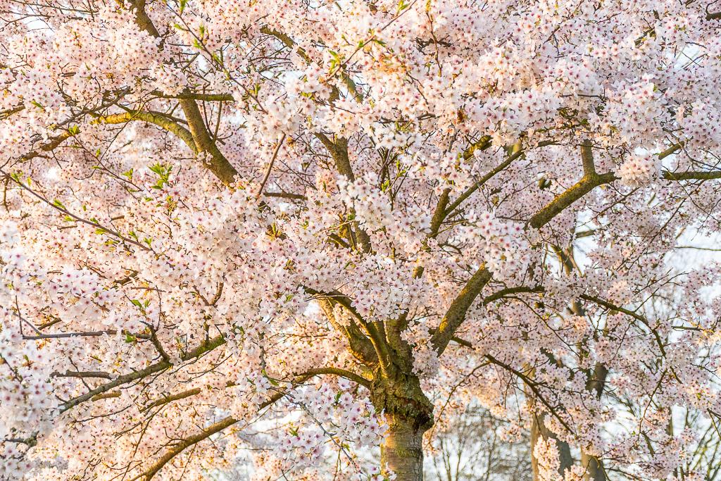 Weiße Kirschblüten am Baum in Deutschland