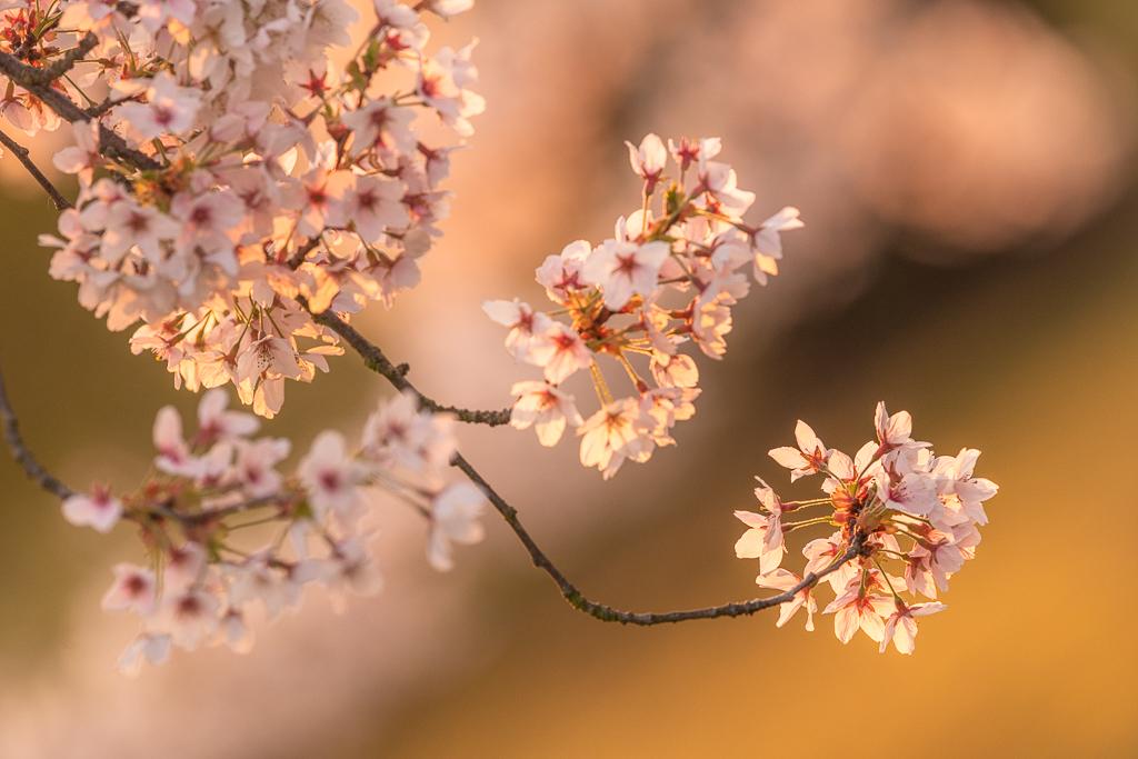 Ein kleiner Zweig blühender Kirschblüten in Deutschland