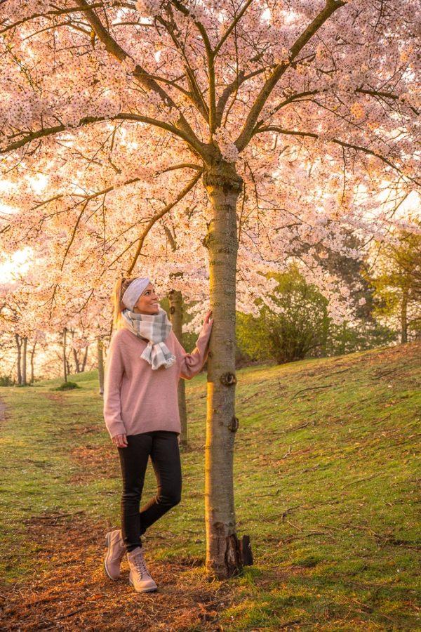 Kirschblütenbaum in Deutschland