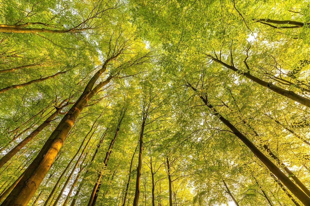 Natur erleben im Ruhrgebiet: Blick hinauf in dichte, grüne Baumkronen