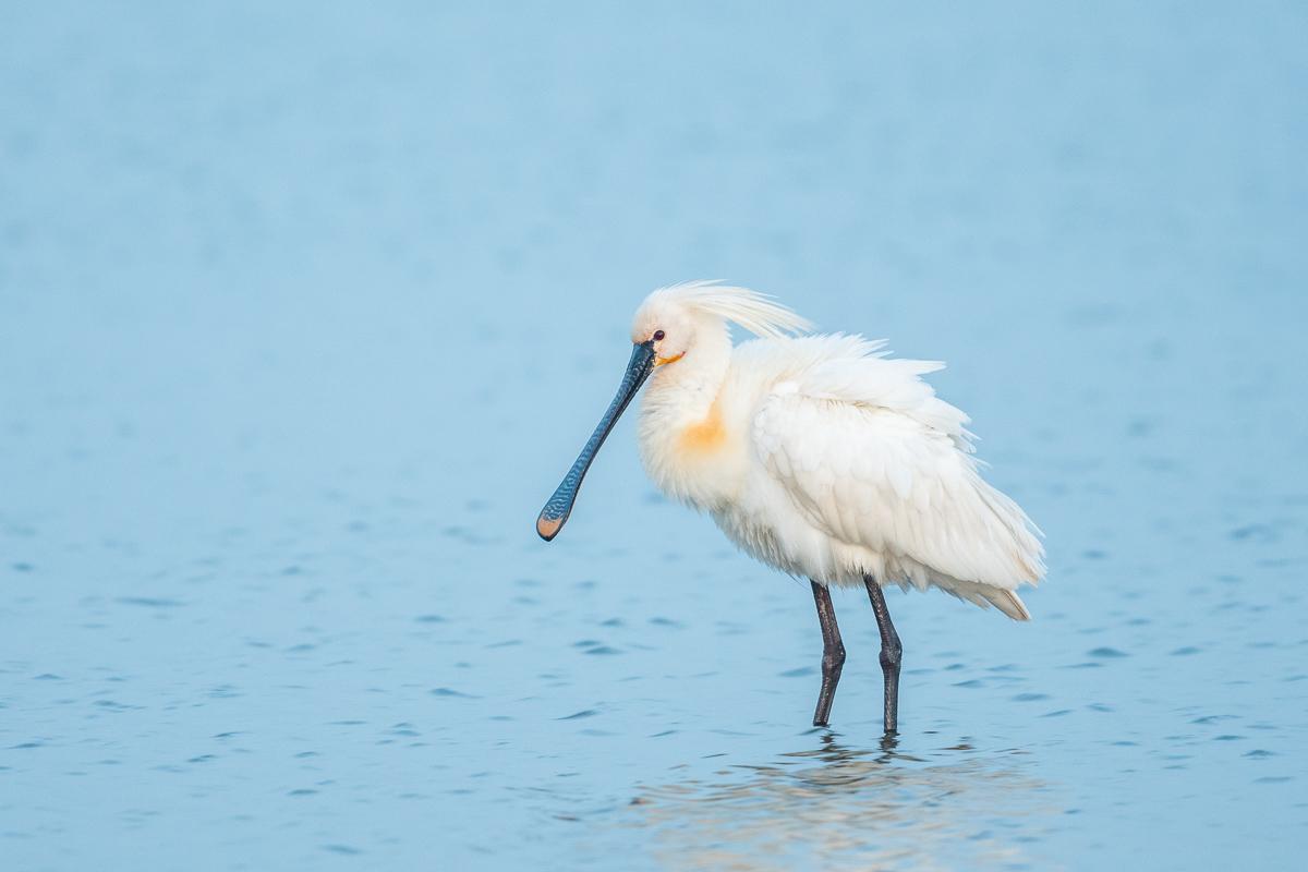 Bekannter Vogel auf Texel: der Löffler
