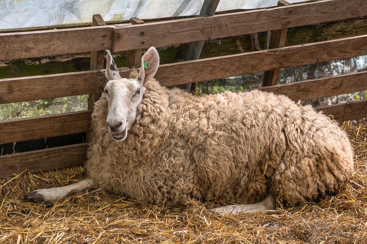 Schaf auf einem Bauernhof auf Texel