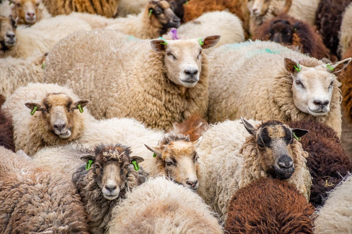 Viele Schafe stehen beisammen