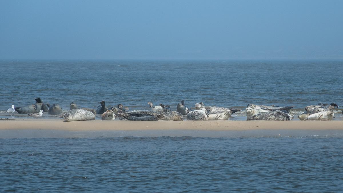 Seehundbank vor Texel