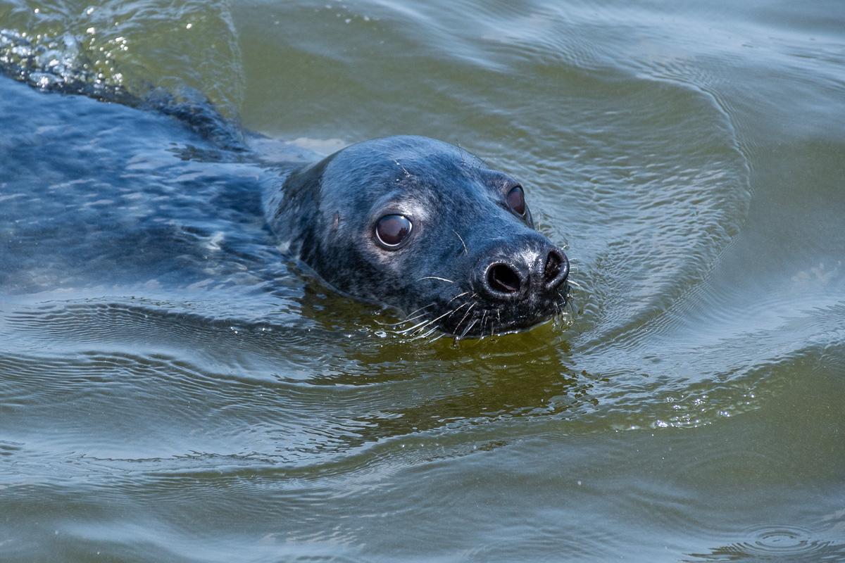 Seehund in der Nordsee