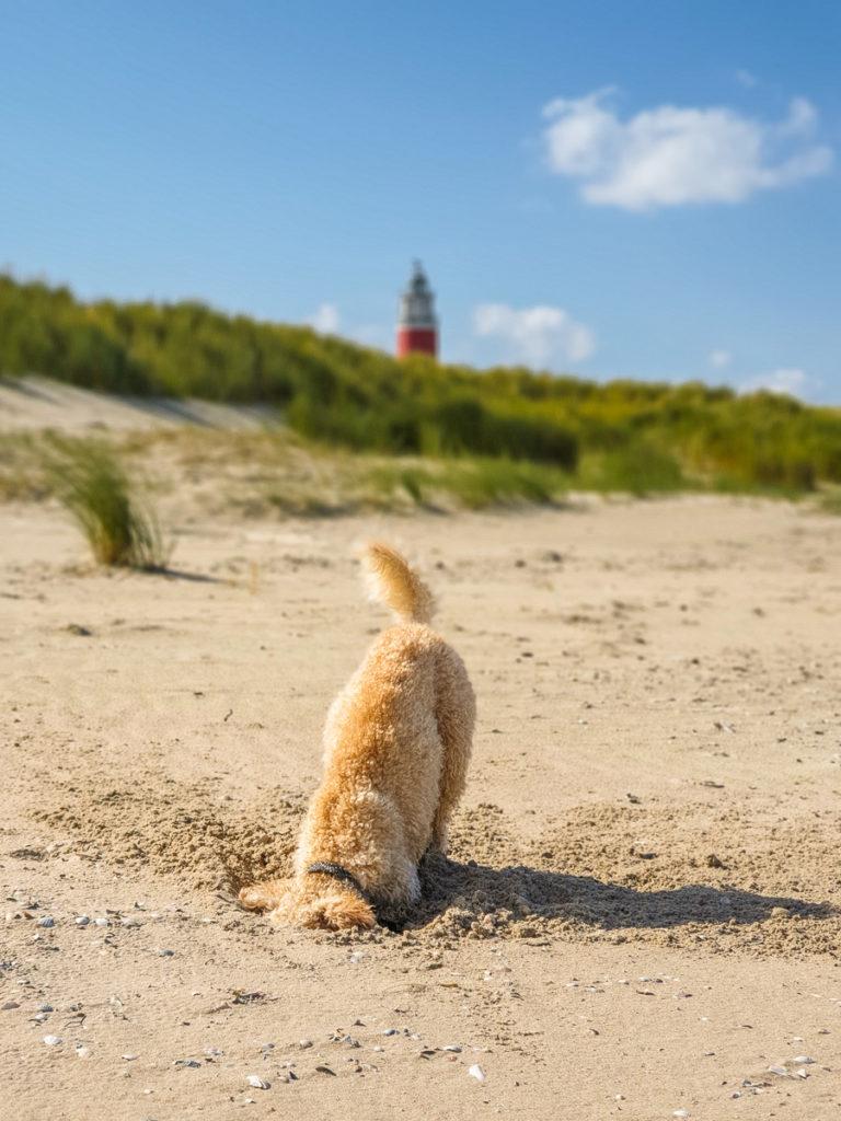 Hund buddelt im Sand auf Texel