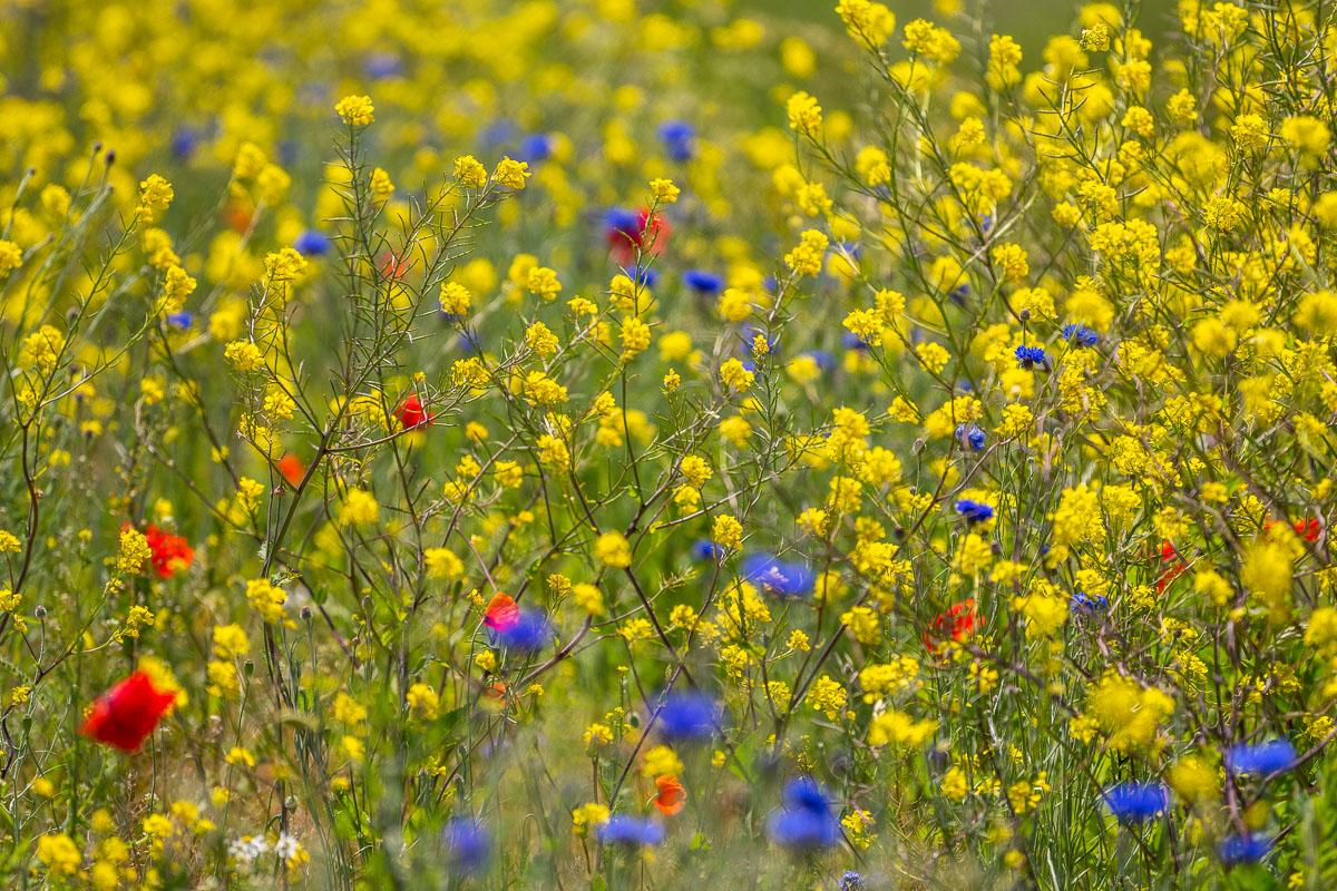 Bunte Blumenwiese auf Texel