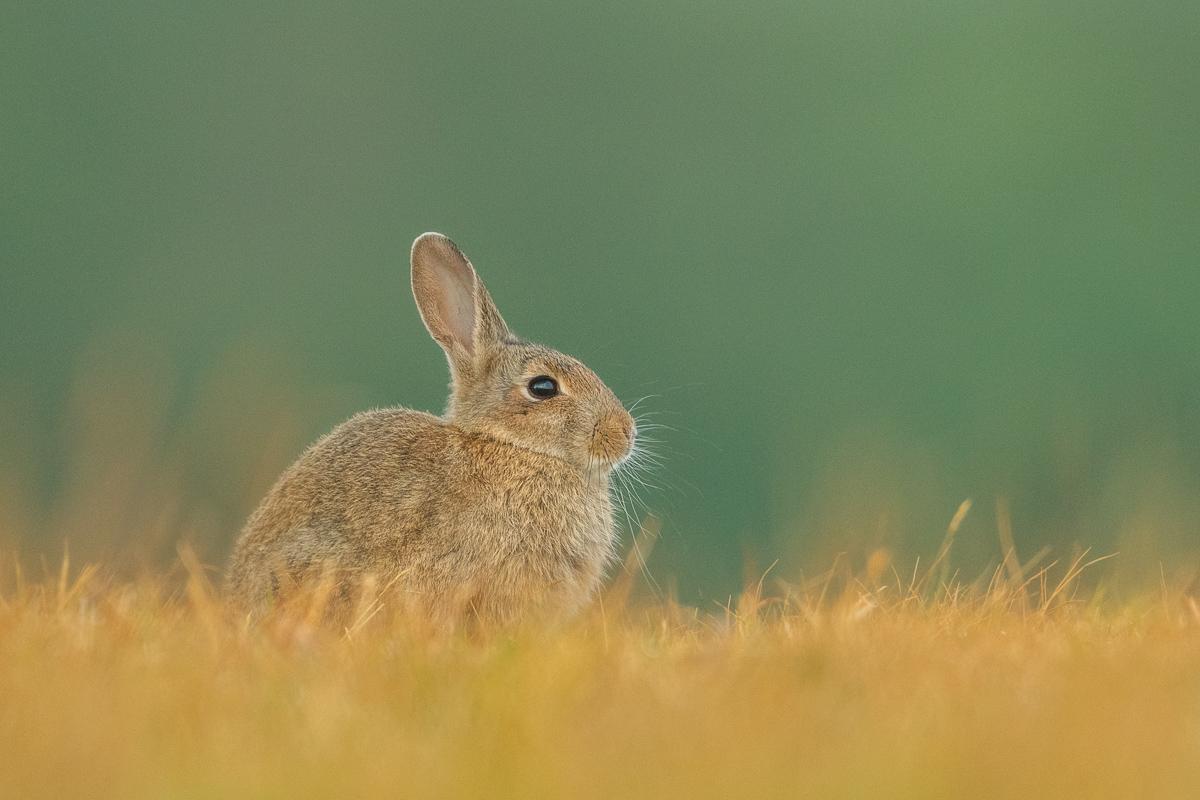 Kaninchen sitzt auf gelben Gras