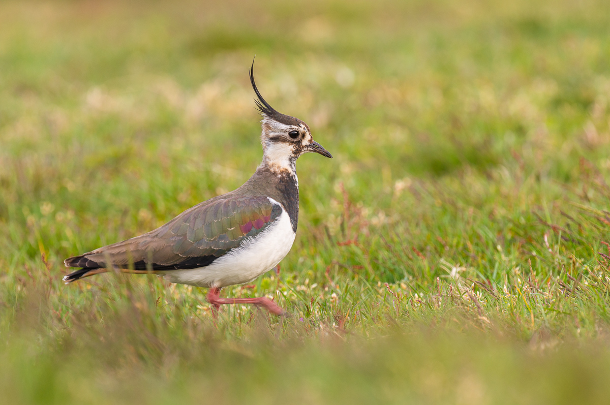 Vogel in der Natur auf Texel