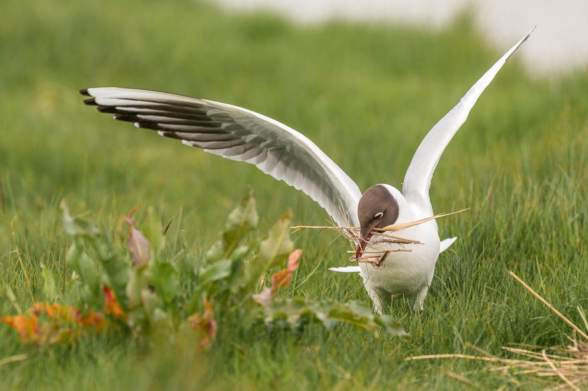 Vogel im Gras mit Heu im Schnabel auf Texel