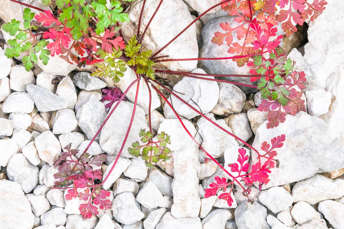 Blühende Alpenpflanze